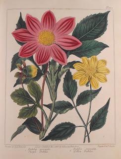 Plate 19: Dahlia Pinnata and Dahlia Crocata