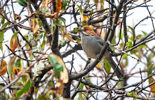 Rufous-eared Brushfinch - Green Tours Peru