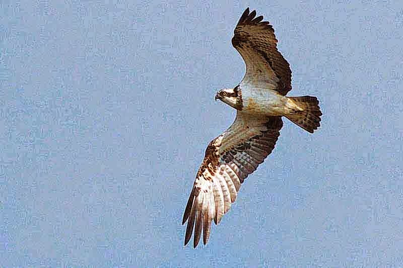 Osprey searching for food