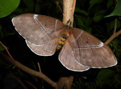 Periphoba rosacea female