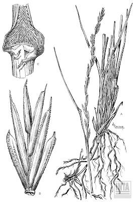 Agropiro criollo (Elymus scabrifolius)