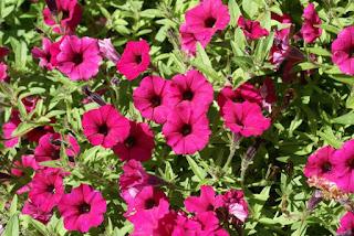 Petunia 'Supertunia Sangria Charm'