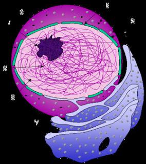 Nucleo celular y biologia celular