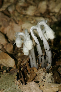 Monotrope uniflore - Monotropa uniflora