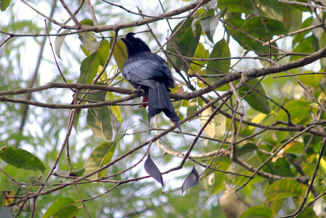 Greater Racket-tailed Drongo(30–65 cm) - Coorg