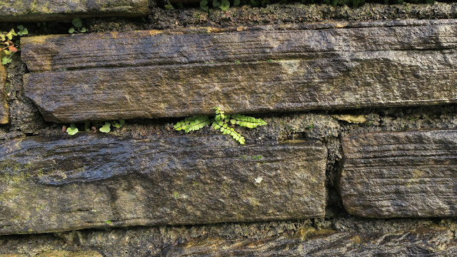 Fern growing between stones in a wall. West Yorkshire.