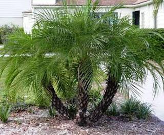 Palem Phoenix - Phoenix robelinii - Dwarf date palm, palem phinis - 29 Jenis Tanaman yang Sering Dijadikan Penghias Taman - honaylandscape.blogspot.com