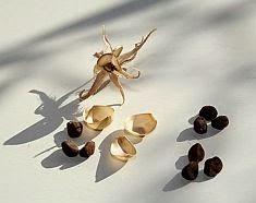 vine cypress seed