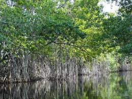 Wawan Karisman Fungsi Dan Peranan Hutan Bakau Mangrove Dalam