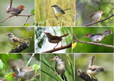 Kisaran Daftar Harga Terbaru Burung Ciblek Saat Ini Di Tahun 2018 Paling Lengkap