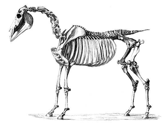 horse-anatomy-osteology