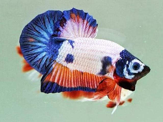Ikan Cupang Hias Import Thailand