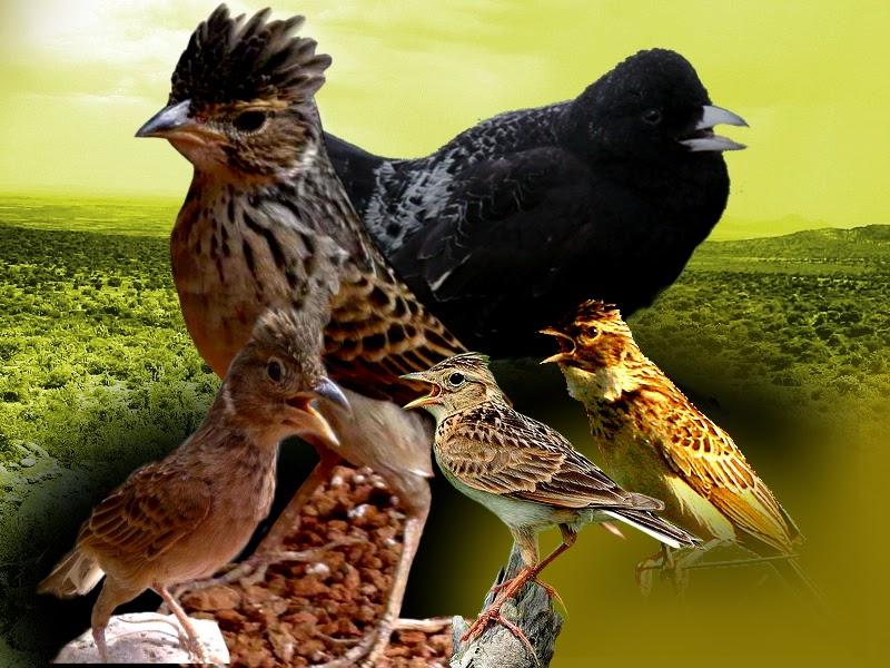 mp3 burung (lark) branjangan, sanma, pailing