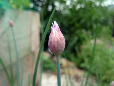 la flor del cebollino