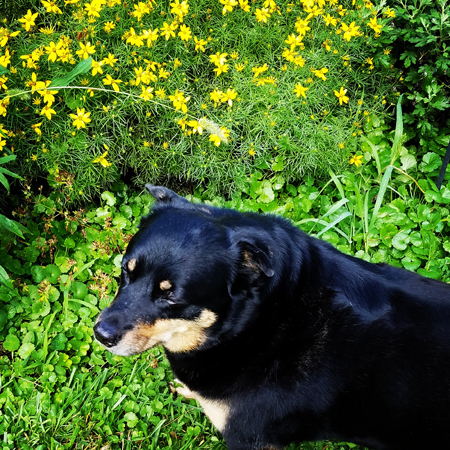 image of Zelda the Black and Tan Mutt standing in the garden beside a plant blooming with small yellow flowers