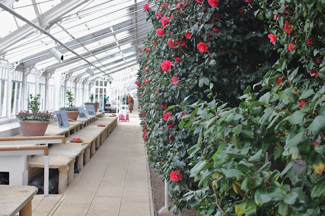 View along the camellia collection at Chiswick House