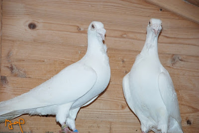 white pigeon-ostrava bagdad
