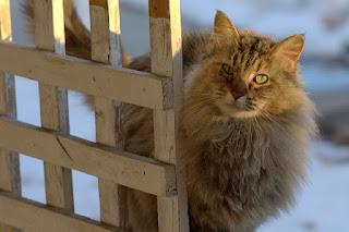 Kucing Somali di Indonesia dan Harganya