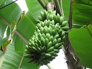 Plaintain, Banana Business Can Boost Economy —Hon. Oghenekaro Adjarho 3
