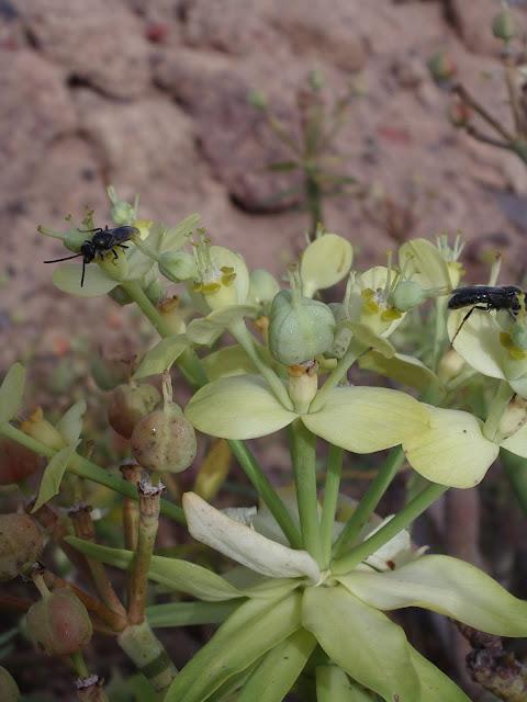 Euphorbia berthelotii 06