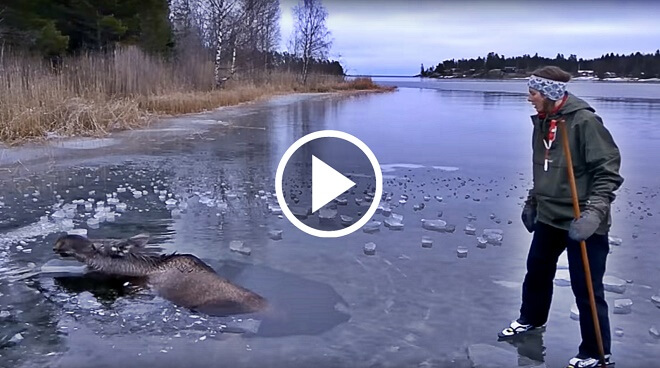 A Moose Falls Through Ice And Starts Drowning. Watch How This Brave Woman Rescues It