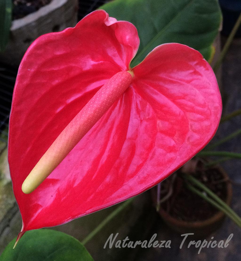 Naturaleza tropical manual para el cultivo de anturios o for Todas las plantas ornamentales