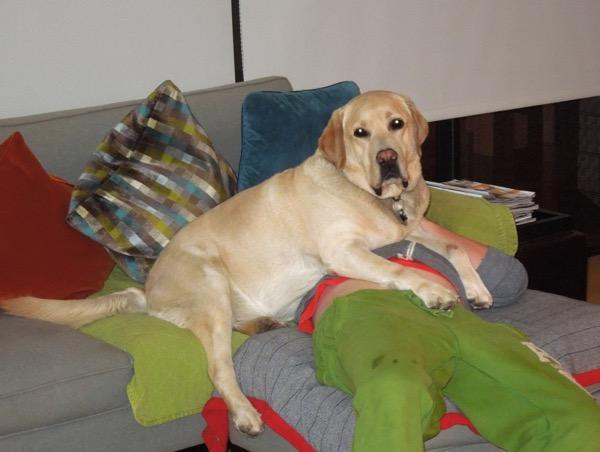 Labrador lap dog Cooper
