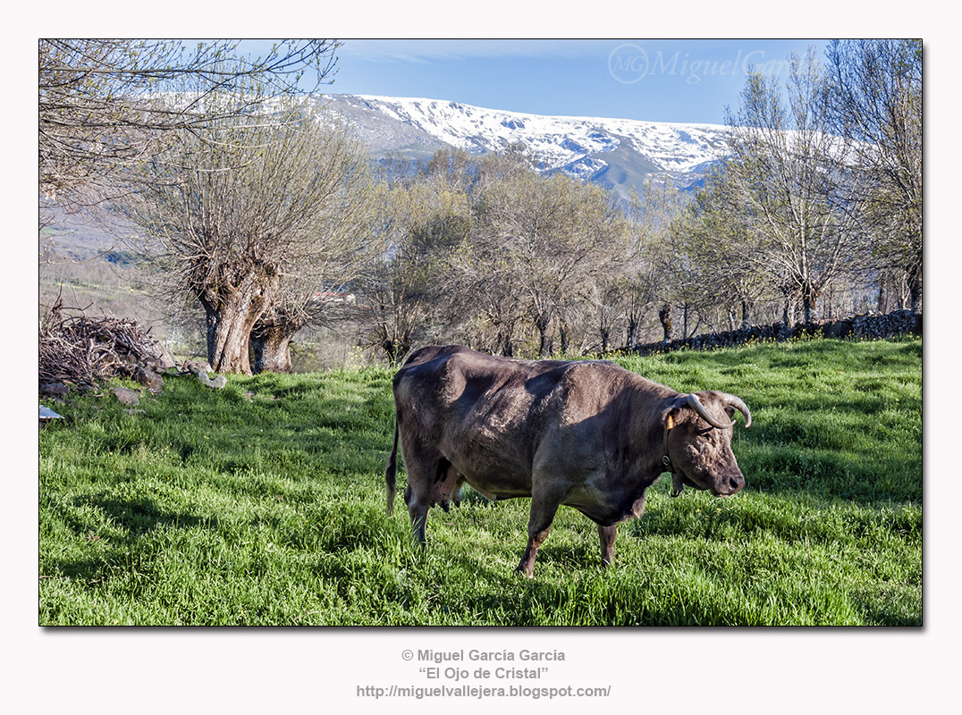 Valdesangil. Vaca, fresnos y Sierra de Béjar.