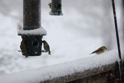 the return of the goldfinch