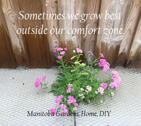A pretty flower growing between patio blocks