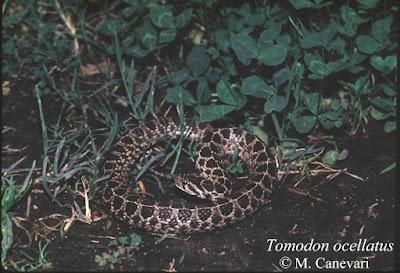 Tomodon ocellatus