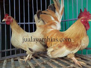 Ayam Kate Dewasa Sepasang