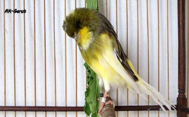 Cara Mengatasi Burung Kenari Terkena Snot