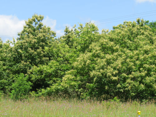 stand of Chestnut trees