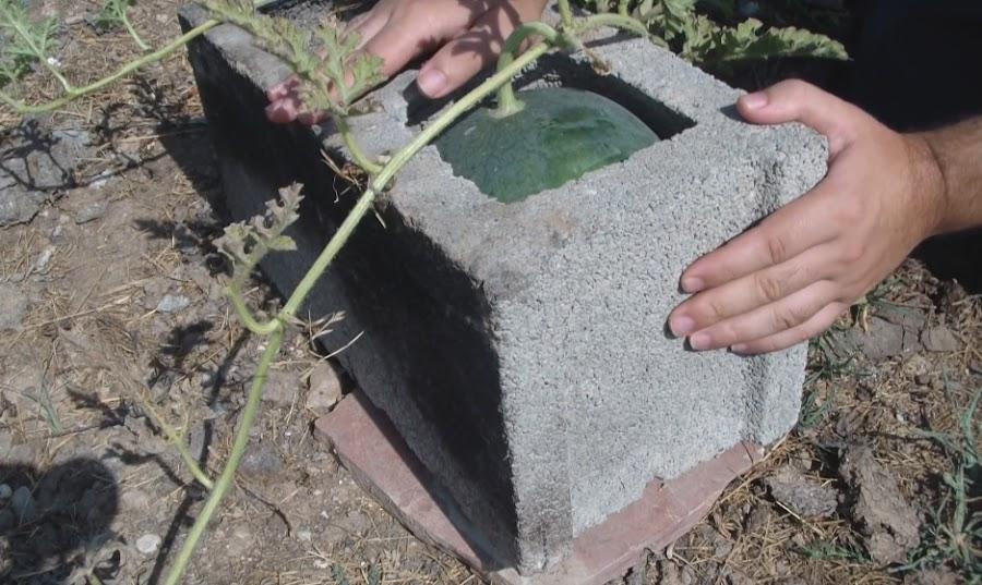 Sandias Cuadradas en la Huerta