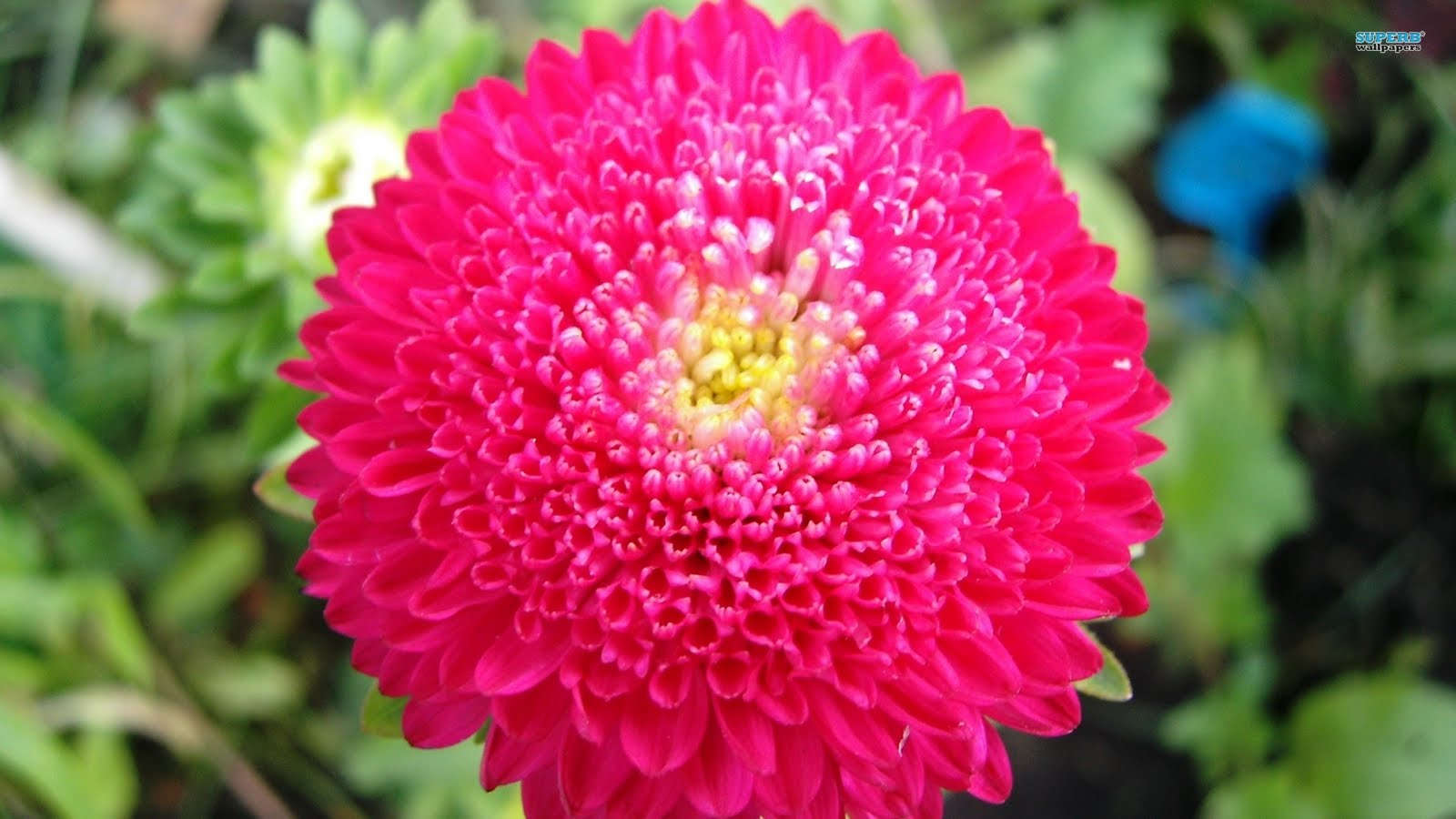 superb wallpapers: Chrysanthemum flower