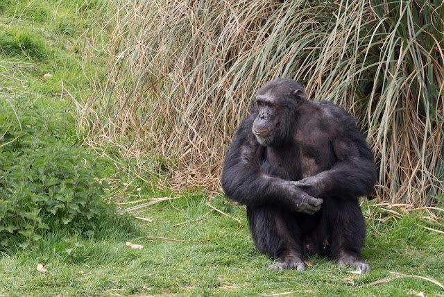 A chimpanzee chilling out on grass at whipsnade zoo