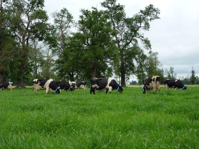 Vacas pastoreo