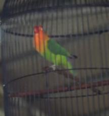 Lovebird Konslet Juara Nasional