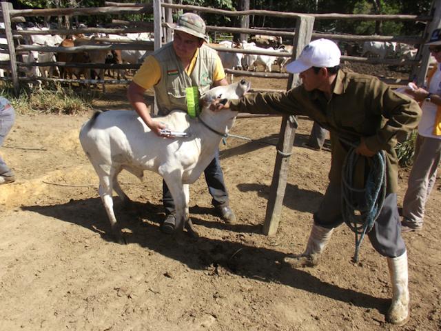 Produtores declaram vacinação contra a aftosa em 45% do gado de Cacoal