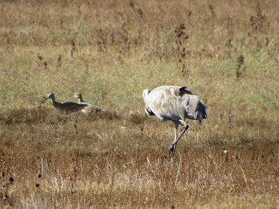Long-billed Curlews and Sandhill Crane