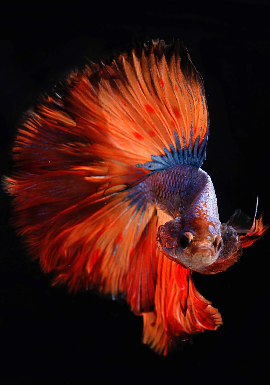 Picture of a siamese fighting fish.