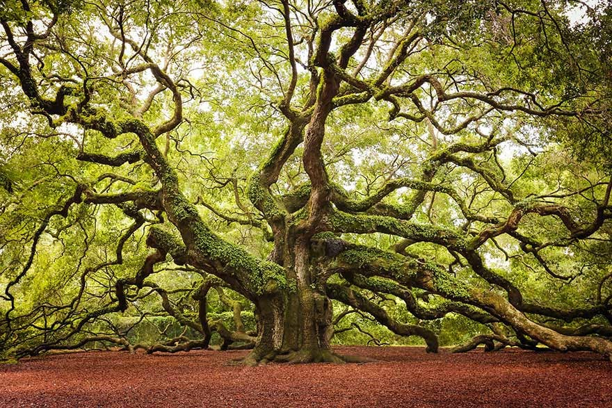 #7. The Angel Oak tree in Charlston, South Carolina - 16 Of The Most Magnificent Trees In The World.