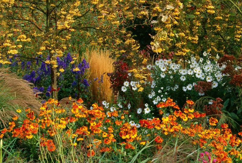 Sorbus, Calamagrostis, Helenium y Chrisanthemum en Pettifers Garden