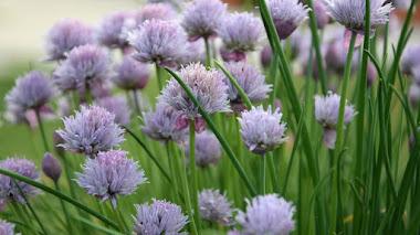 Cebollino (Allium schoenoprasum): cuando las flores también importan