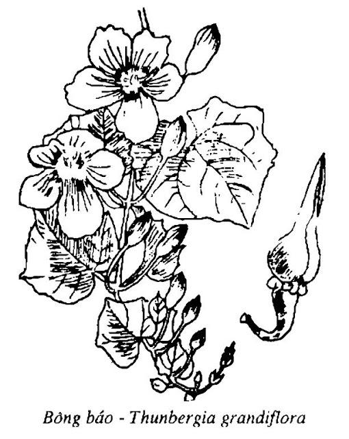 Hình vẽ Bông Báo - Thunbergia grandiflora - Nguyên liệu làm thuốc Đắp vết thương Rắn Rết cắn