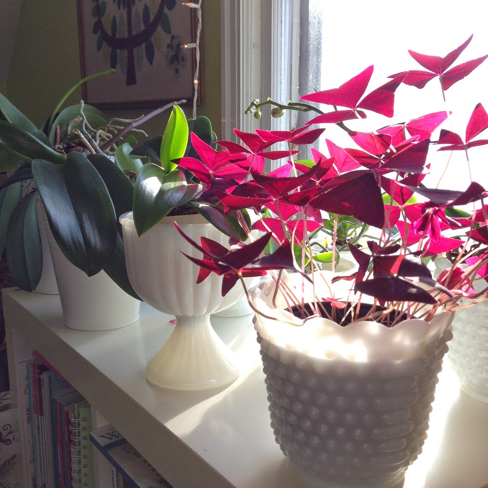 My Giant Strawberry, houseplants, oxalis, phalaenopsis, orchids, milk glass