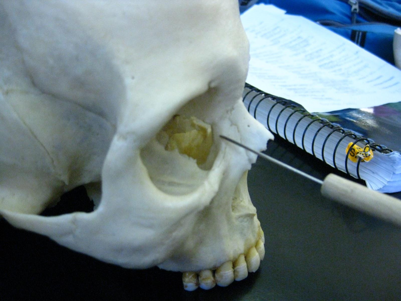 Human Skull Lacrimal Bone