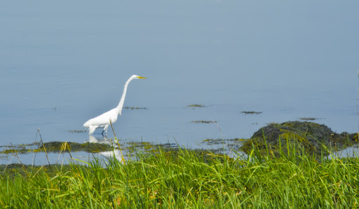 Great Egret at Charles Island, Milford CT
