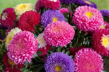 Resultado de imagem para áster flor